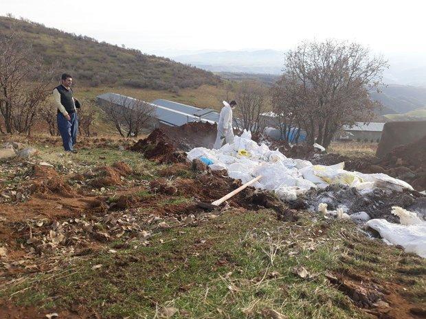 دفن بهداشتی 10 هزار قطعه مرغ مسموم در جوانرود