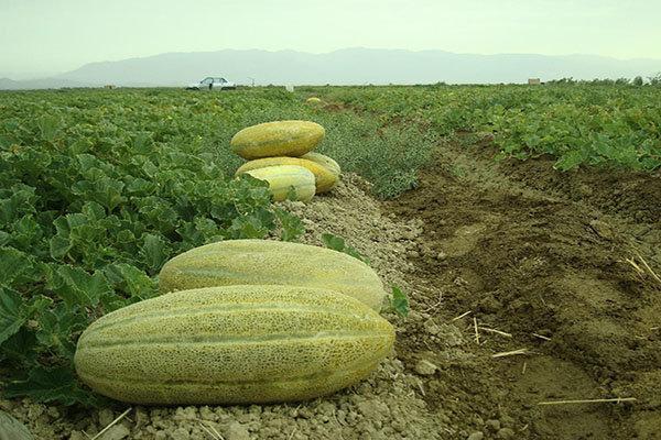 تولید بذر اصلاح شده خربزه در راستای افزایش تولید